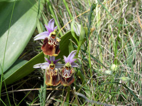 3 - Ophrys holosericea subsp. apulica - Foto Teo Dura