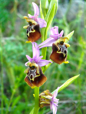 4 - Ophrys holosericea subsp. apulica - Foto Teo Dura