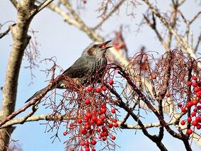 ・ヒヨドリ 2017年12月7日 柏の葉公園  イイギリの実を啄む。