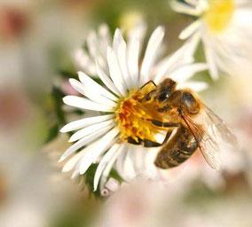 Nektar sammelnde Honigbiene