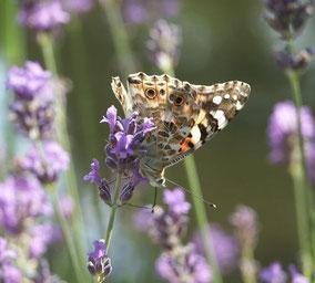 Schmetterling am Gartenteich