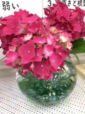 お客様からいただいた紫陽花♪癒されます~