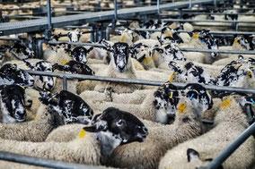 Capteurs de mesure pour l'élevage avec Agralis