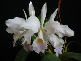 Cattleya labiata semialba 'Foleyana'