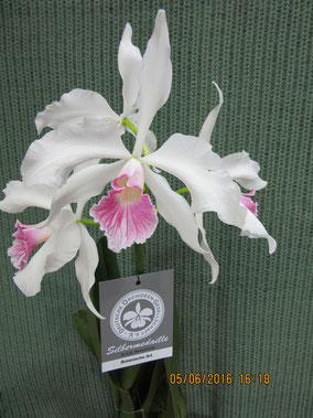 Cattleya purpurata var. carnea