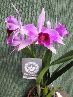 Cattleya purpurata f. rubra