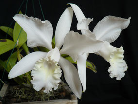 Cattleya 'Julio Conceicao'