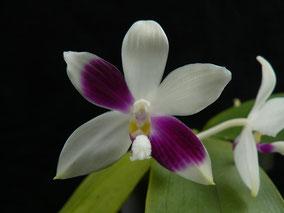 Phalaenopsis tetraspis #C1 (Lila)