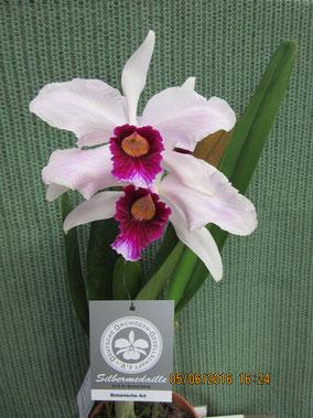 Cattleya purpurata var. venosa