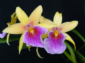 Miltonia 'Sunset'