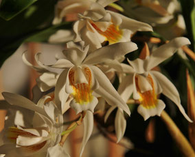 Coelogyne species
