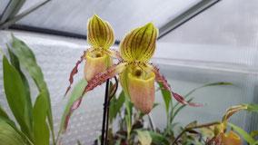 Paphiopedilum Hybride