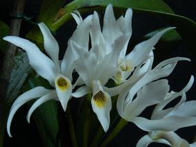 Cattleya aurantiaca alba