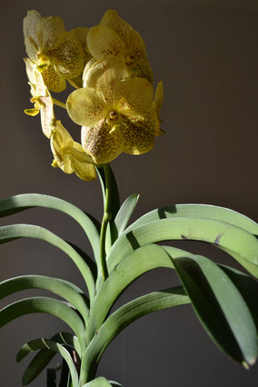 Vanda Golden Magic