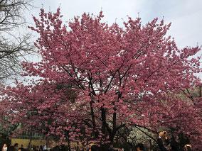 新宿御苑は様々な桜を見ることができます。