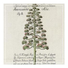 18th century Florilegium Copper Plate Engraving