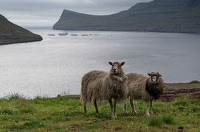 Landschaftsfotograf Sebastian Kaps aus Deutschland, Färöer, zwei Schafe