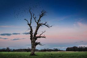 Alter Baum am Abend und Vogelschwarm