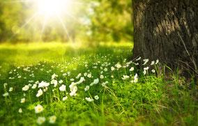 Eine grüne Wiese auf einer Waldlichtung. Weiße Buschwindröschen blühen und die Sonne strahlt sanft durch die Bäume.