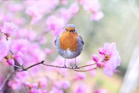 Ein Rotkehlchen sitzt auf einem Zweig. Um es herum blühen weiß-rosa-farbene Kirschblüten. Das Vögelchen blickt die Betrachterin, den Betrachter liebevoll an.