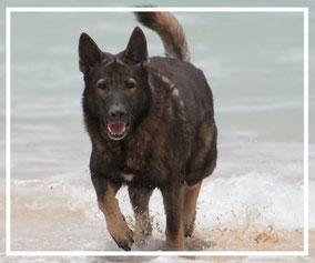 Deutscher Schäferhund Lobo vom Schweiter Hof im Wasser