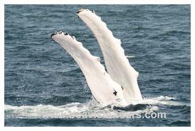Flipperslapping eines Buckelwals auf vor Boa Vista auf der Whale Watching Tour mit Boa Vista Tours