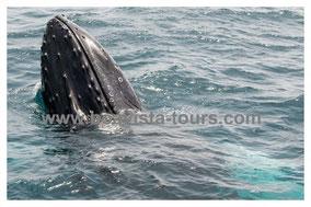Spyhopping Buckelwal vor Boa Vista auf der Whale Watching Tour mit Boa Vista Tours