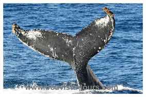 Boa Vista, Kapverden, Cabo Verde, Whale Watching, Walbeobachtung, Buckelwale