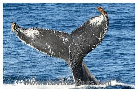 Fluke eines Buckelwals vor Boa Vista auf der Whale Watching Tour mit Boa Vista Tours