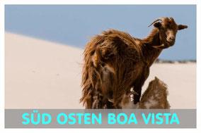 Tiege und Zicklein am Strand von Boa Vista mit Link zur Süd Osten Tour von Boa Vista Tours