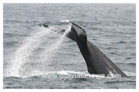 Tail Slapping eines Buckelwals vor Boa Vista auf der Whale Watching Tour mit Boa Vista Tours