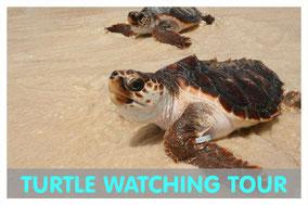 Unechte Carett Schildkröte am Strand von Boa Vista mit Link zur Turtle Watching Tour von Boa Vista Tours