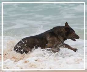 Deutscher Schäferhund Lisa von der Döllenwiese im Wasser