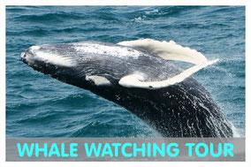 springender Buckelwal auf Boa Vista mit Link zur Whale Watching Tour von Boa Vista Tours