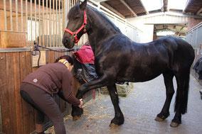 Dehnung und Streckung des Vorderbeines des Pferdes