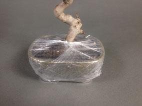 Die Schale wurde mit Folie umwickelt um den Wurzelballen gegen austrocknen zu schützen