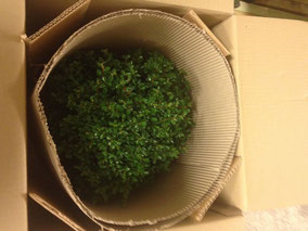 Der Bonsai wird mit Hilfe von Wellpappe im Karton fixiert.
