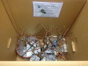 Die Bonsai werden sorgsam im Karton fixiert, um ein Verrutschen im Karton während des Transports zu verhindern