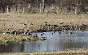 Rastende Blässgänse im NSG Rheinaue Walsum (Foto: Jens Hartmann)