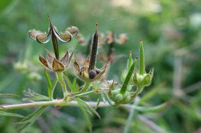 plante sauvage