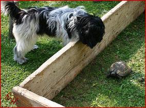 Der Schapendoes behütet eine Schildkröte