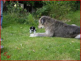 Der Schapendoes kommt auch mit großen Hunden zurecht