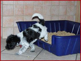 Schapendoes Welpen im Hundeklo