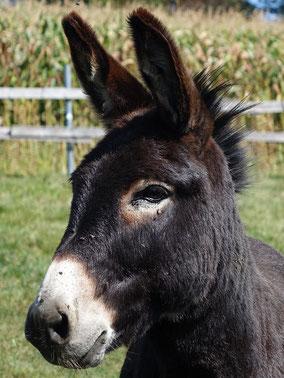 Portrait von Aron, dem braunen Esel