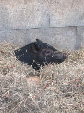 Schwein streicheln Wettingen