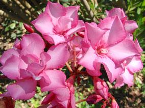 OLEANDER HAUS  Nerium Oleander Penelope