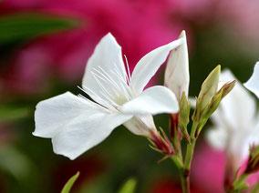 OLEANDER HAUS  Nerium Oleander  Casablanca