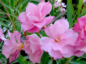 OLEANDER HAUS  Nerium Oleander Gotsis Euphrosyne