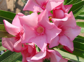 OLEANDER HAUS  Nerium Oleander Gotsis Kallisto