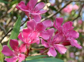 OLEANDER HAUS  Nerium Oleander Gotsis Hektor